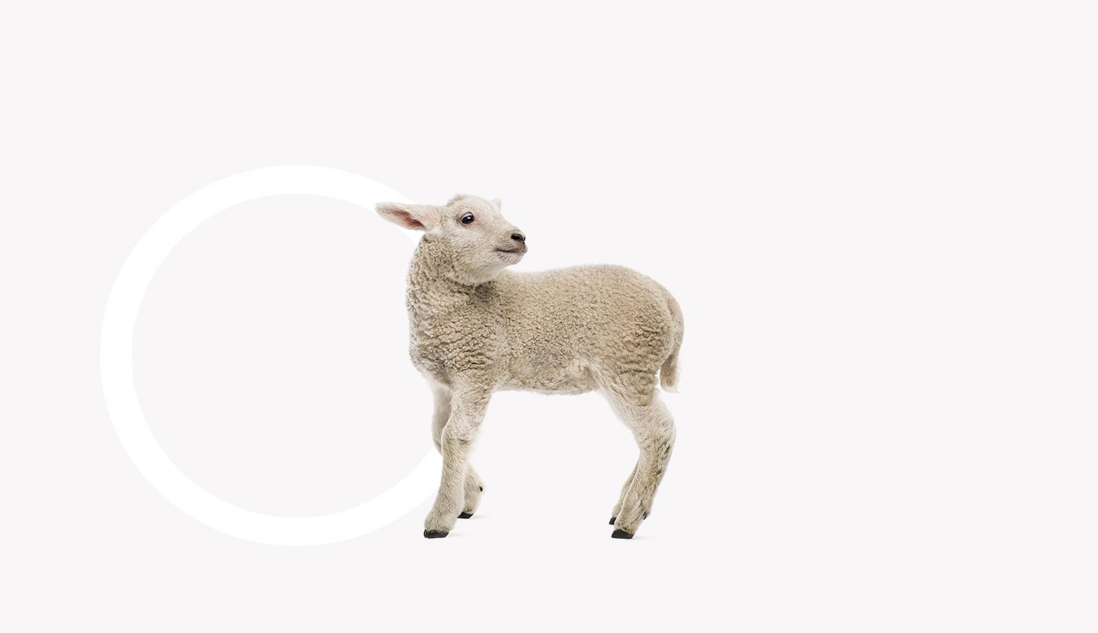 Τροφές για πρόβατα και κατσίκια